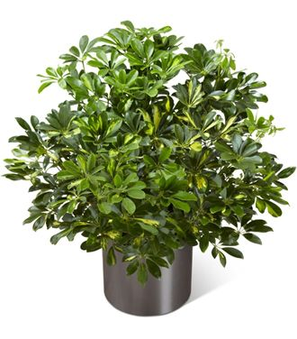 Flowers for usa - The Schefflera Arboricola flowers