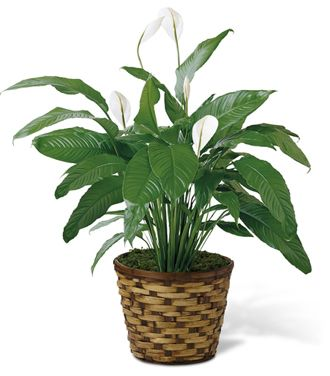 Flowers for USA - The Spathiphyllum flowers