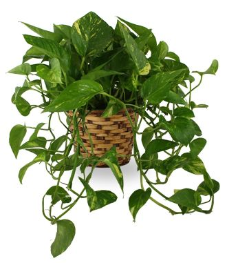 Flowers for USA - Enduring Spirit Pothos Basket flowers