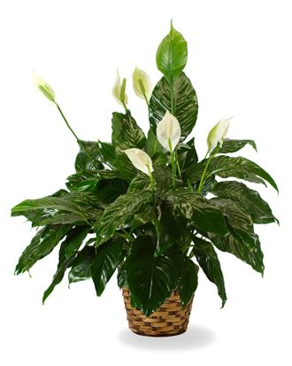 Flowers for USA - The Peace Lily flowers