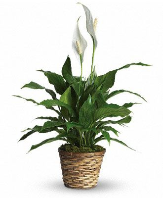 Flowers for USA - Simply Elegant Spathiphyllum - Small flowers