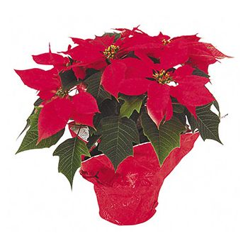 St. Maarten online Florist - Red Glory Bouquet