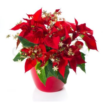 Casablanca flowers  -  Festive Sparkle Flower Delivery