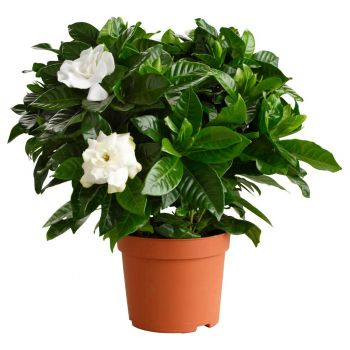 Muscat online Florist - White Fragrance Bouquet