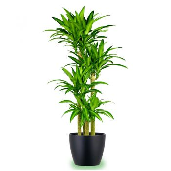 Muscat flowers  -  Dracena Massangeana Flower Bouquet/Arrangement
