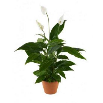 Muscat flowers  -  Spathiphyllum Flower Delivery