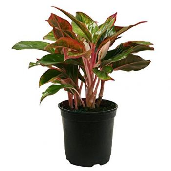 Oman flowers  -  Aglaonema Flower Delivery