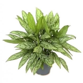 Muscat flowers  -  Aglaonema Silver Queen Flower Bouquet/Arrangement