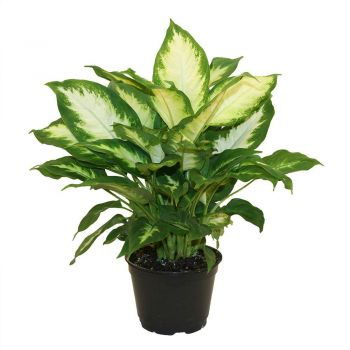 Muscat flowers  -  Dieffenbachia Flower Bouquet/Arrangement